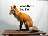 Red Fox, Vulpes fulva
