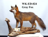 Grey Fox, Urocyon cinereoargenteus