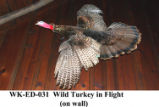 Wild Turkey, Meleagris gallopavo
