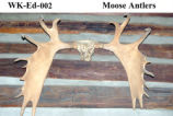 Moose Antler, Alces alces