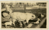 Pigs and chickens at Youngsholm photograph