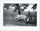 Walking boar to sow for mating