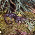 Jefferson's Salamander Photographs