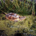 Snapping Turtle Photographs