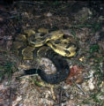Timber Rattlesnake Photographs