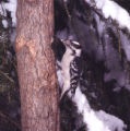 Downy Woodpecker Photographs