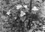 White Trillium blooming at Fort Hill