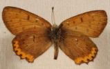 Bronze Copper Butterfly Lycaena hyllus