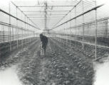 Jessie Burnett Hoeing at Burnett and Lauten Greenhouse Photograph