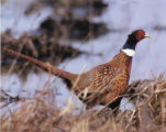 Ring-Necked Pheasant Photograph