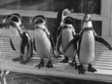 Great Lakes Exposition Penguin Exhibit Photograph