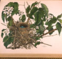Gray Catbird's Nest and Eggs